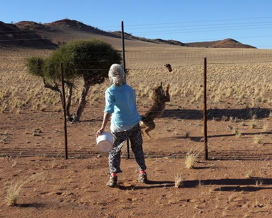 Feeding a Cheetah - Namibia