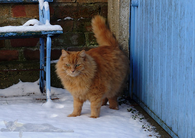The Fluffy Ginger Cat