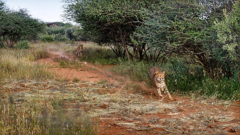 Cheetah Ruinning at Naankuse - Namibia