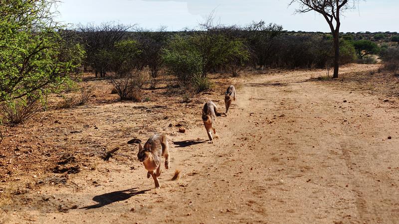 Caracal Running - Namibia