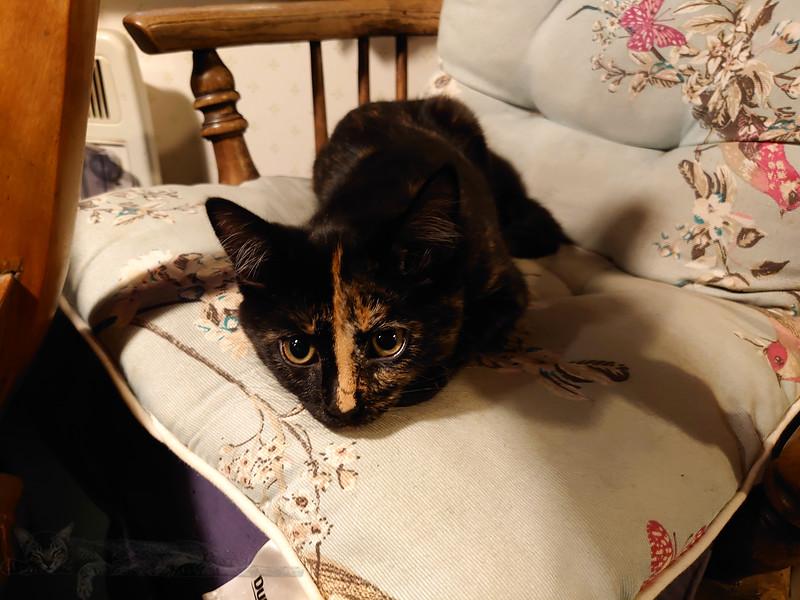 Trumland Farm - Rousay - Kitten