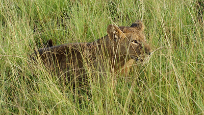 Lioness in the Long Grass