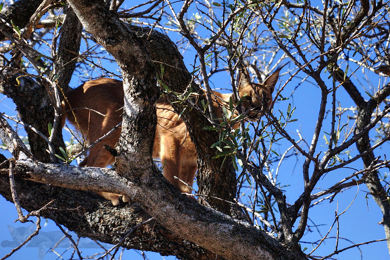 Caracal in a Tree - Namibia