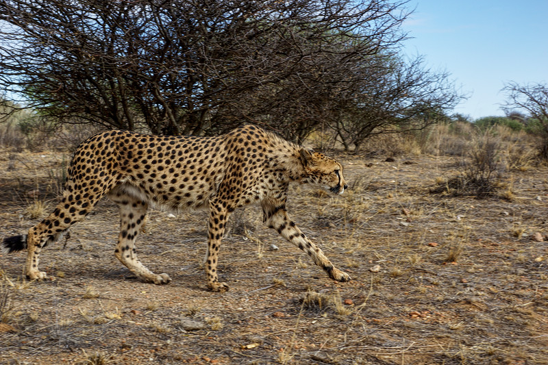 Cheetah at Naankuse, Namibia