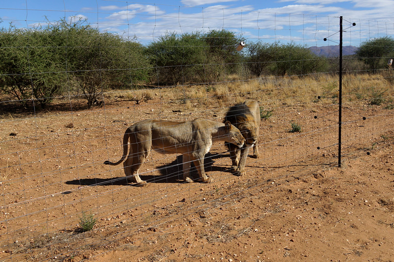 Mr & Mrs Lion - Namibia