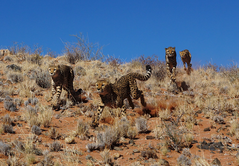 Cheetahs Coming Over The Hill
