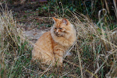 Ginger Cat in the Grass
