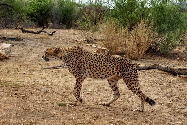 Cheetah at Naankuse, Namibia