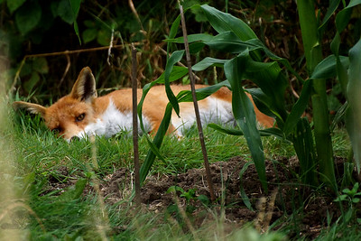 Red Fox in the Local Allotment