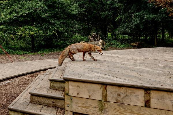 Fox in Morden Hall Park