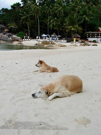 Dog on the a Beach - Ko Pha Ngan - Thailand