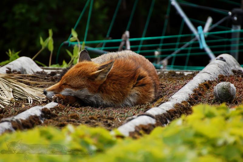 Fox on the Garage Roof