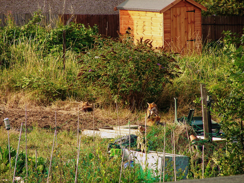 Red Foxes in the Local Allotment - London