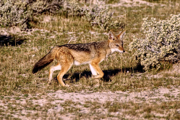 A Jackal out for a Stroll