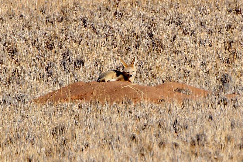 Cape Fox - Namibia