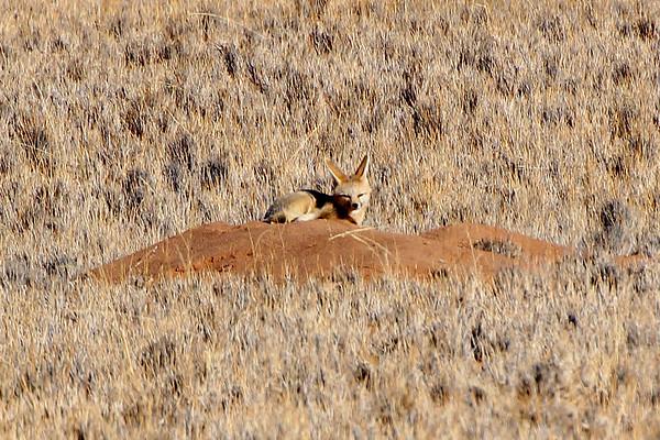 Fennec Fox - Namibia