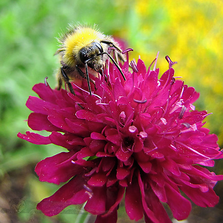 Bumblebee on a Flower - Surrey