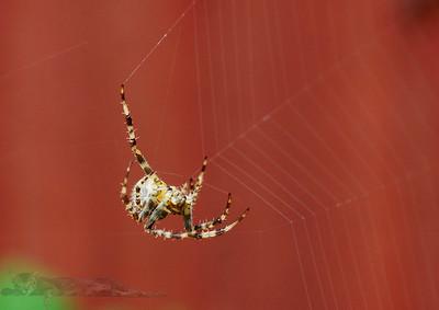 Itsy Witsy Spider