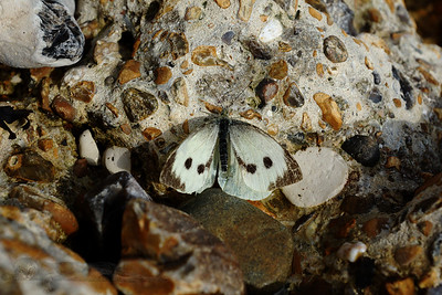 Butterfly at Holywell Beach, Eastbourne