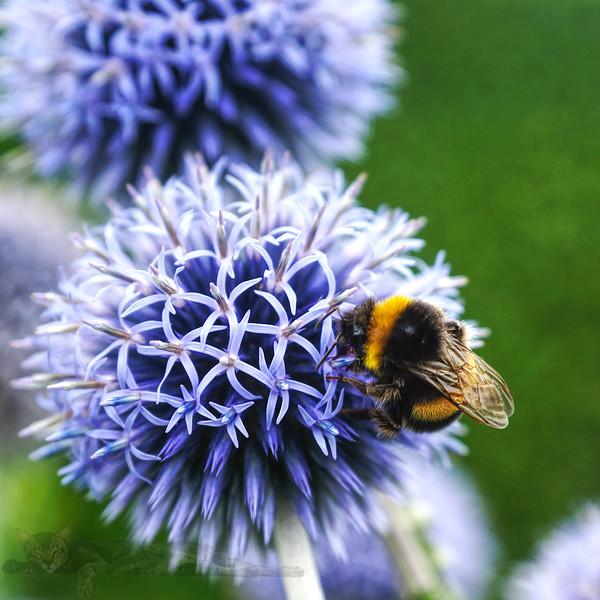 Bumblebee and Flower in Surrey