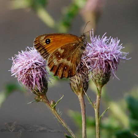 Butterfly an a Thistle