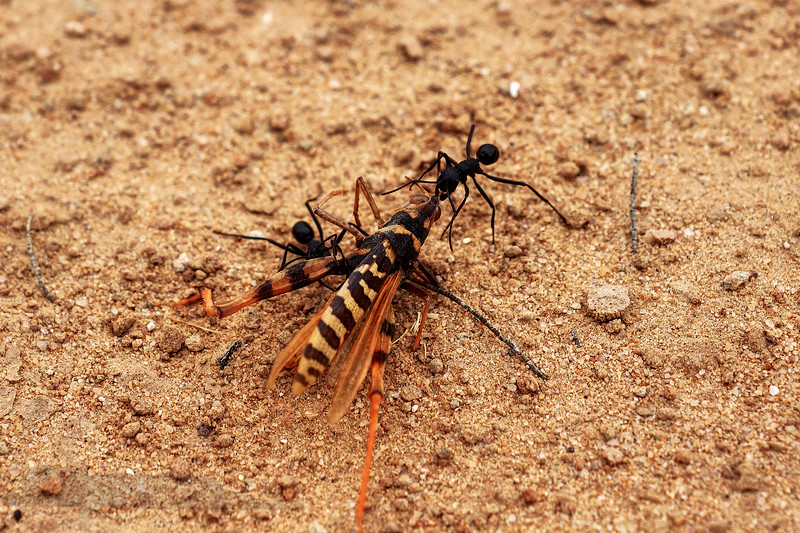 Australia - Ants and a Dead Hoverfly