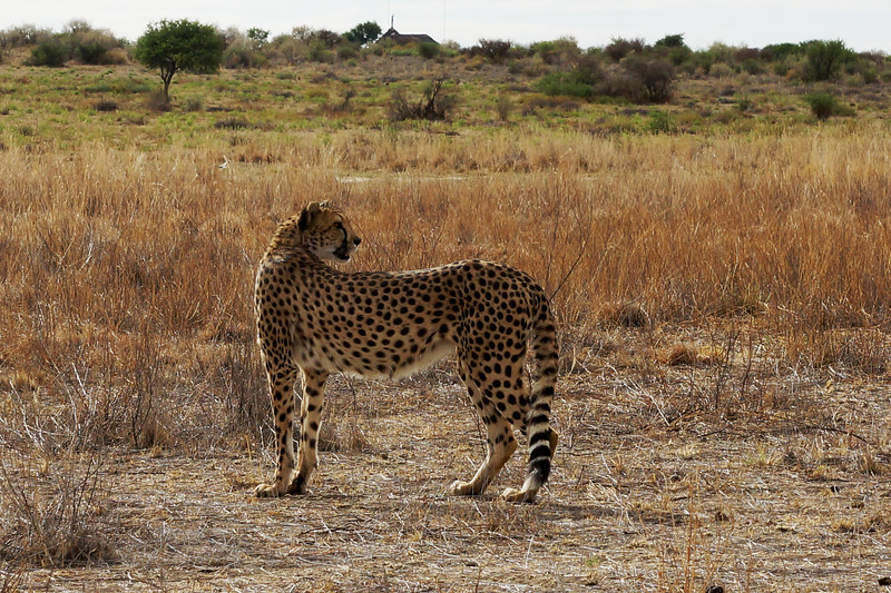 Cheetah at Naankuse Wildlife Conservation Project