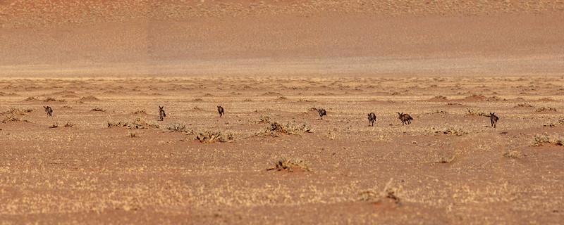 Bat Eared Foxes on the Run