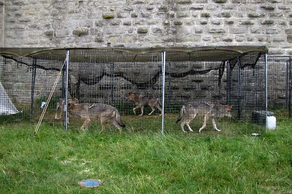 Carcassonne Castle - Captive Wolves