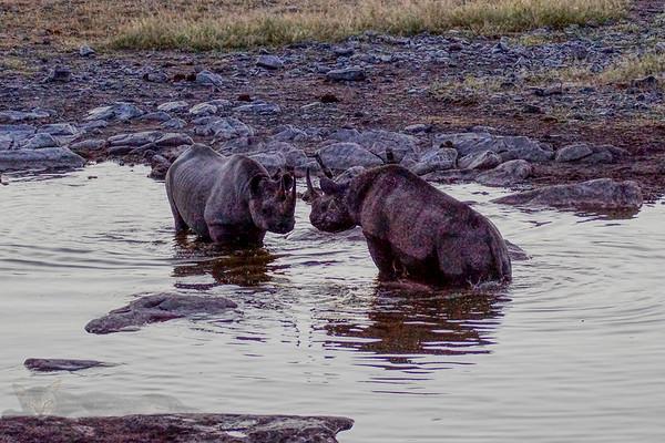 Black Rhinoceros at the Waterhole at Night - Etosha National Park