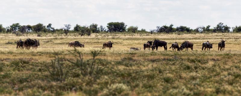 Wildebeest - Etosha National Park - Namibia