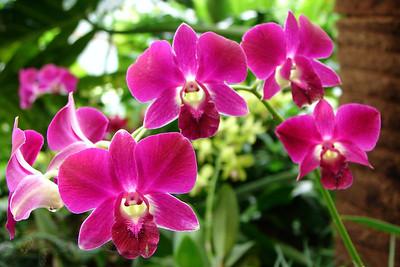 Kuala Lumpur - Orchid - Malaysia
