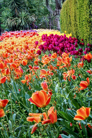 Tulips in Victoria Embankment Gardens