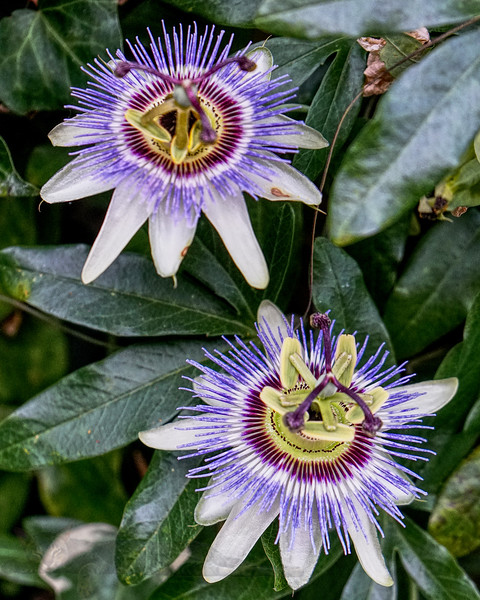 Passion Flowers in Blakesley Walk - 2019