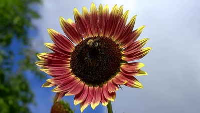 Bee on a Sunflower Video
