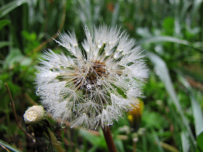 Dandelion Clock with Raindrops or Dew