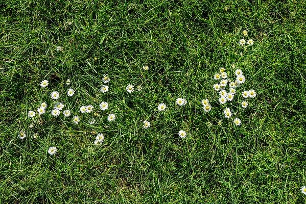 Daisies on Cannon Hill Common