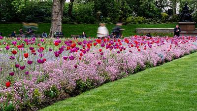 Tulips in Victoria Embankment Gardens