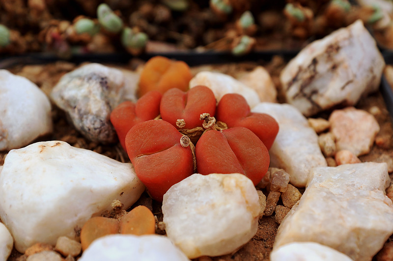 Lithop - Pebble Plant