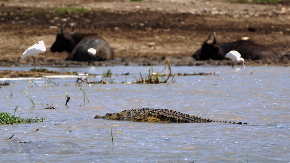 Hunter Killer Submarine / Crocodile in Uganda