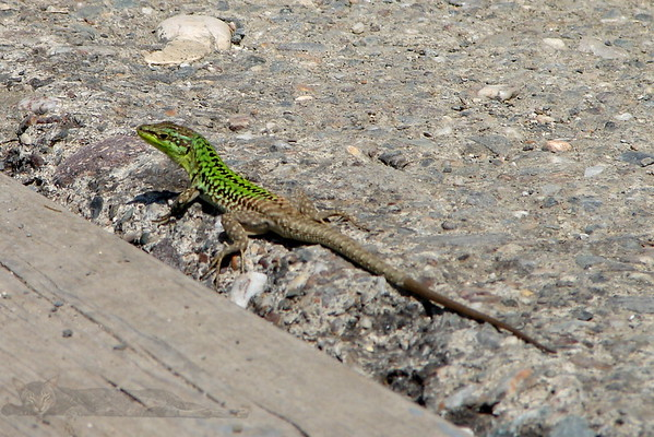 Green Lizard in Sicily