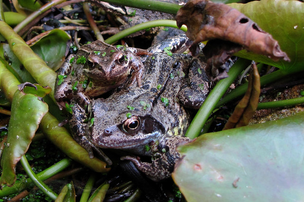 Frogs in The Allotment Pond