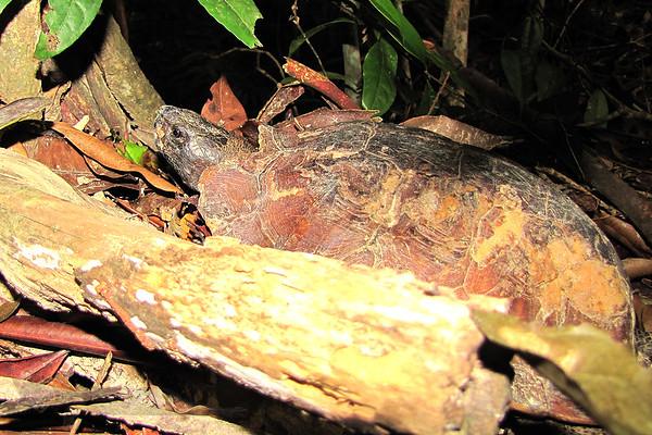 Tortoise - Malaysia