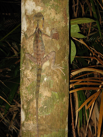 Boyd's Forest Dragon - Daintree