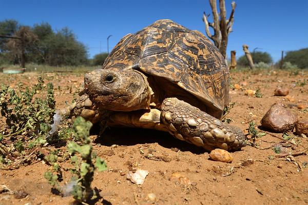 Leopard Tortoise - Namibia