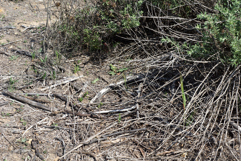 Camouflaged Lizard in Joshua Tree National Park