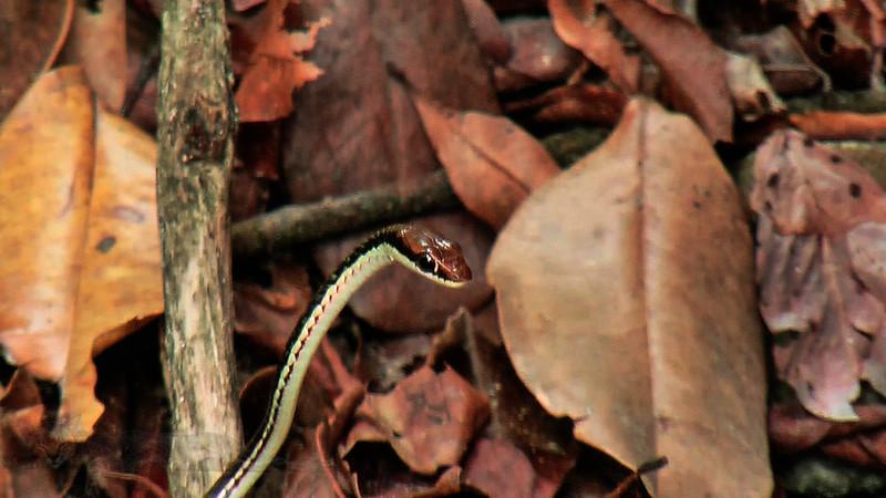 Pulau Kapas - Snake - Malaysia