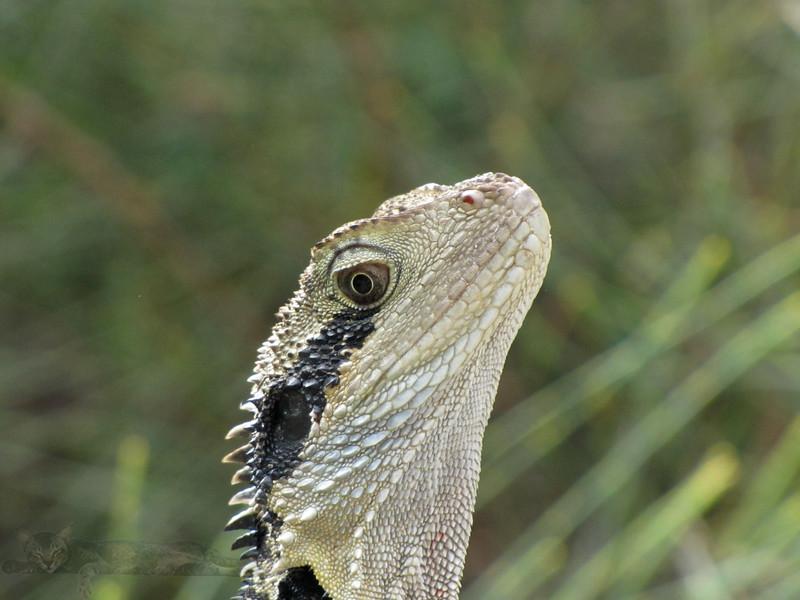 Lizard Head