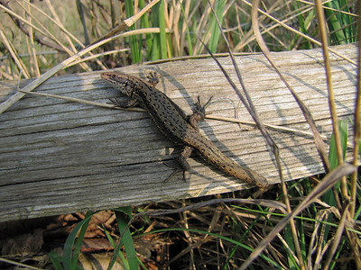 Common Lizard - Rother Valley - East Sussex