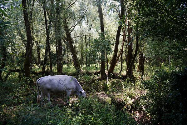 Cow Grazing at Warnham Nature Reserve